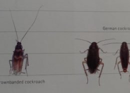 From the left : Brownbanded cockroach – German cockroach