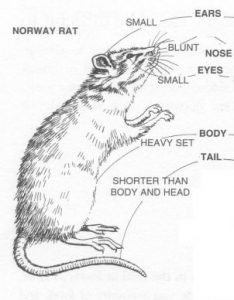 identifying the different parts of a rat