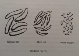 Rodent Faeces