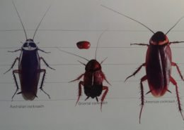 different types of cockroach
