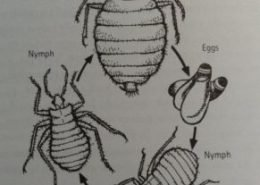 diagram of bed bugs lifecycle
