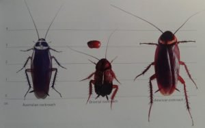 different kinds of cockroach