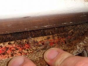 Underneath the carpet termites are found.