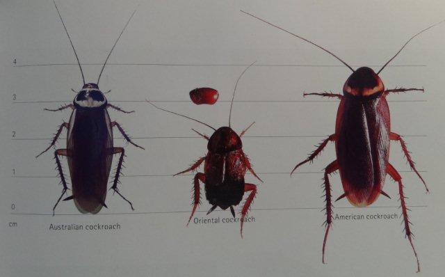 From the left : Australian cockroach – Oriental cockroach – American cockroach