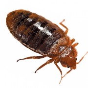 Life Cycle & Habits of Bed bugs