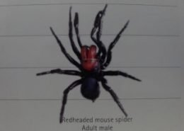 Redheaded mouse spider Adult male