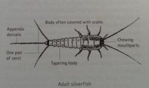 Adult Silverfish