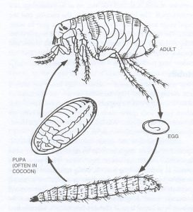 life cycle of a flea